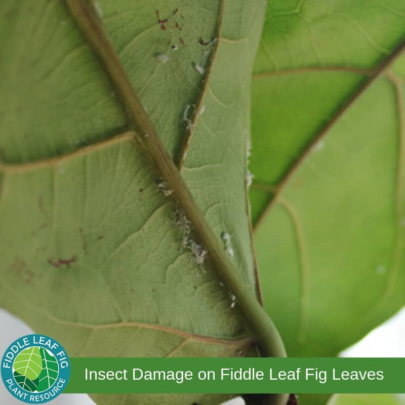 Brown Spots on fiddle leaf fig due to mealy bug insects