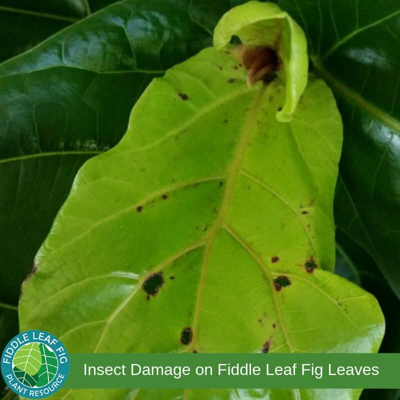 Brown Spots on Fiddle Leaf Fig Leaves due to Insect Damage