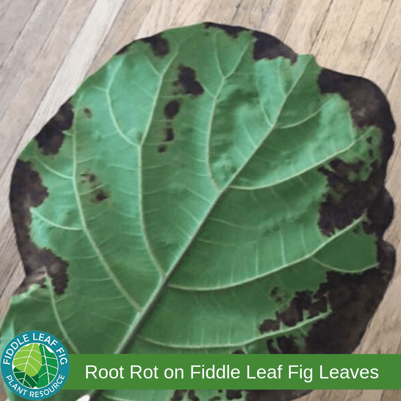 Brown Spots on Fiddle Leaf Fig due to Root Rot