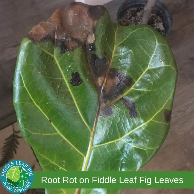 Click to read what brown spots on fiddle leaf fig leaves mean. Root Rot in Fiddle Leaf Figs.