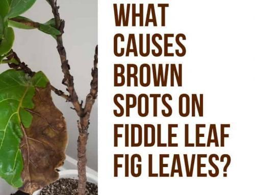 What Causes Brown Spots on Fiddle Leaf Fig Leaves? (And How To Treat Them Quickly)
