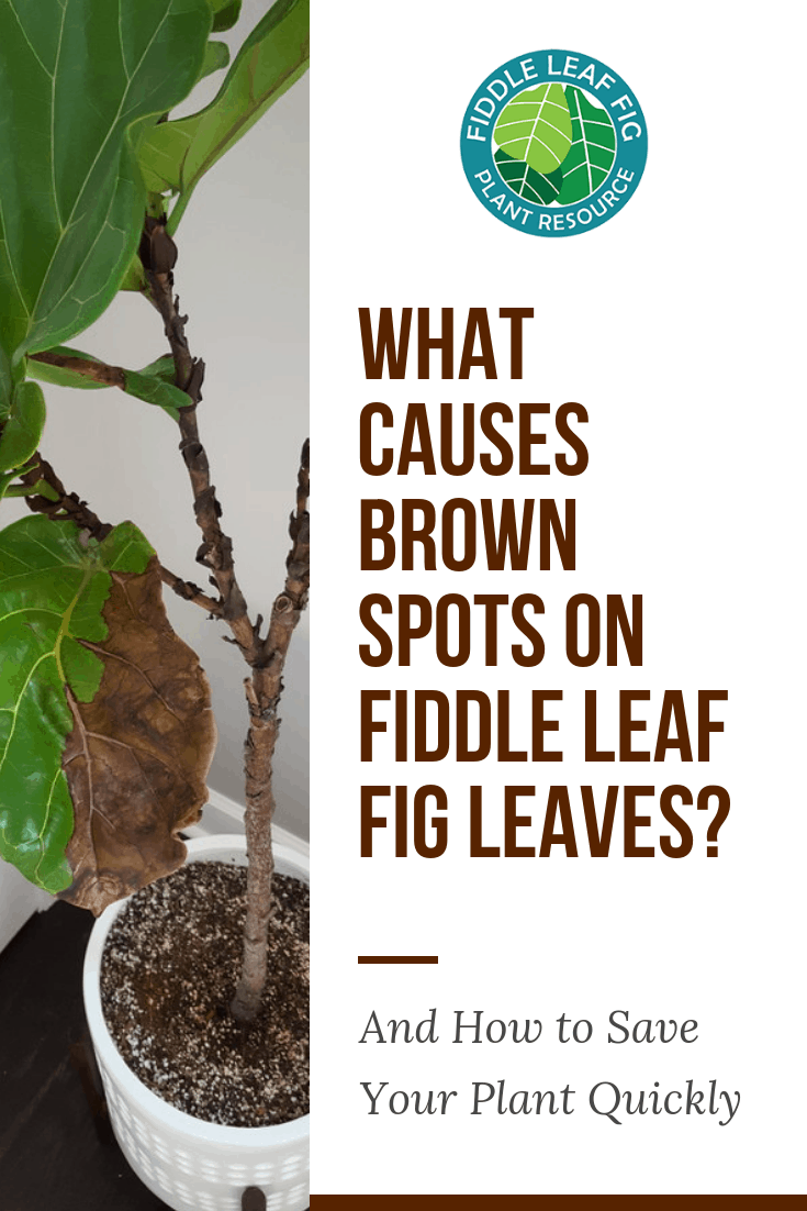 How to Treat Brown Spots on Fiddle Leaf Fig Leaves (With Photos) House Plant Red Under Leaves on tree red leaves, apple red leaves, plant vines, plant succulent, plant poetry, plant snow, plant rose, plant leaf, plant white, plant trees, plant pumpkins, vegetables red leaves, plant water, plant flowers, plant yellow, plant seeds, plant landscape, plant fruit, plant peril, plant grass,