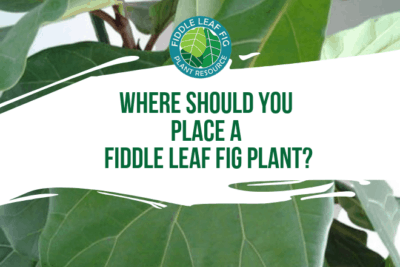 Wondering where you should place your fiddle leaf fig plant? Click to learn the best place to put your fiddle leaf fig plant for optimal growth.