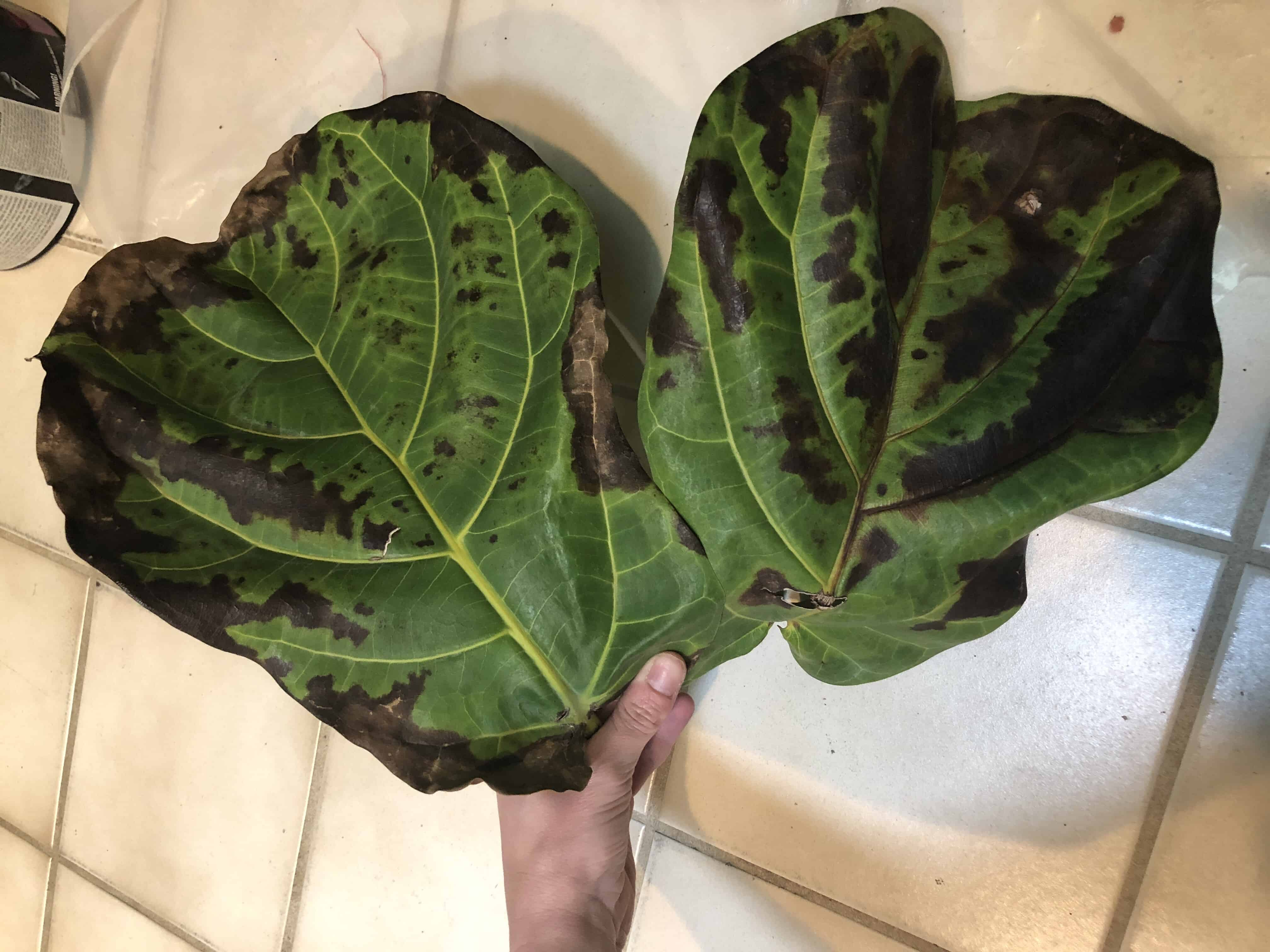I Purchased My Fiddle Leaf Fig Tree From Home Depot About Two Weeks Ago This Was The Only Place In Town That Had Trees And Too Scared To Order