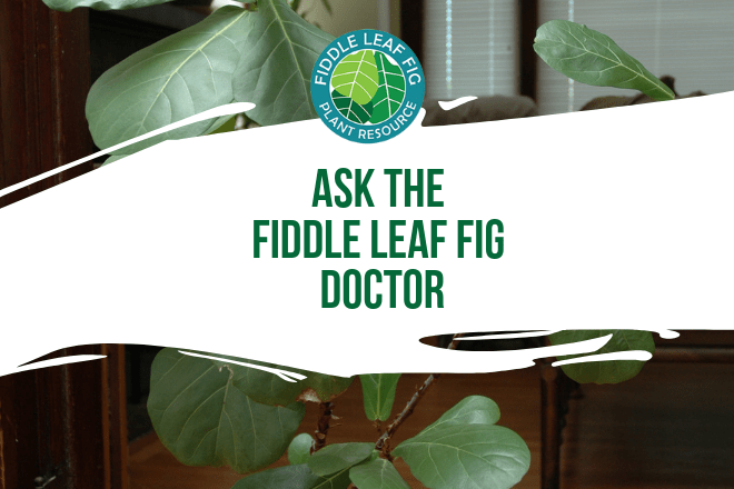Do you have a fiddle leaf fig plant with a problem, but you're not sure what to do? Don't worry - the doctor is here for you. Ask the fiddle leaf fig doctor a question and upload photos of your plant to get recommendations.