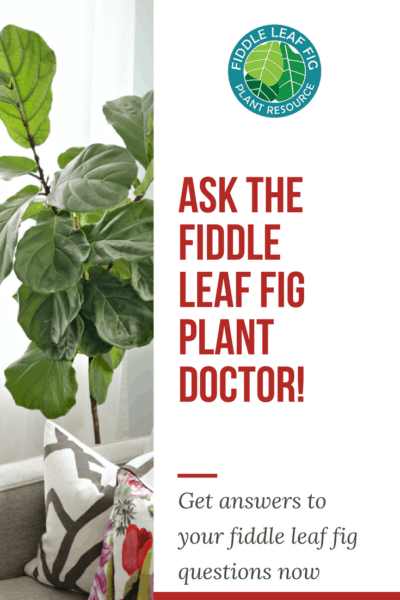 Ask the Fiddle Leaf Fig Plant Doctor