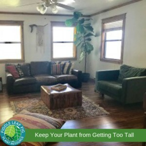 Too Tall Fiddle Leaf Fig