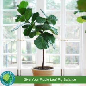 Lopsided Fiddle Leaf Fig