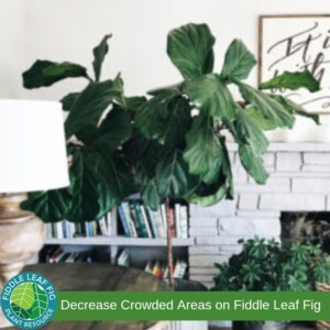Crowded Fiddle Leaf Fig Plant