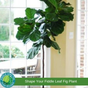 Pruning Fiddle Leaf Fig Tree