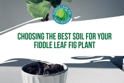 The soil you choose may be one of the most important decisions you make for the health of your fiddle leaf fig plant. Fast draining, well aerated soils are the best choices for a fiddle leaf fig, which prefers relatively dry soil to keep its roots moist but not wet.
