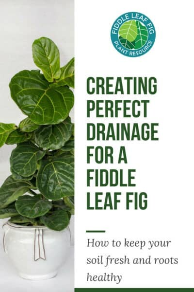 Creating Perfect Drainage for a Fiddle Leaf Fig