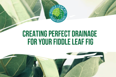 Creating a healthy drainage situation may be the most important investment you make in the health of your fiddle leaf fig. Your plant will suffer serious damage with poor drainage and no soil or fertilizer can correct problems caused by lack of drainage.