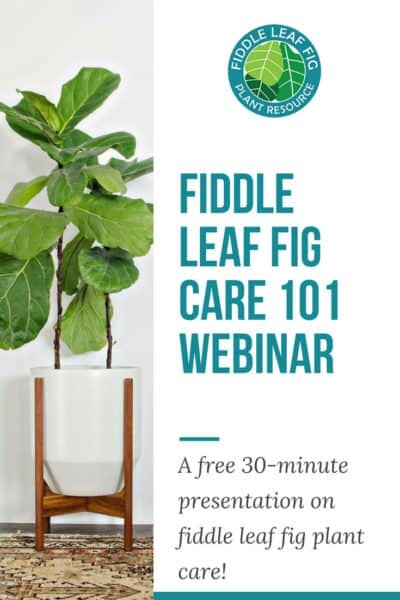 Fiddle Leaf Fig Care 101 Webinar 3