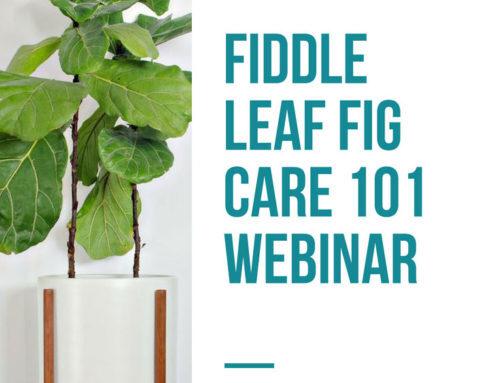 Register Now for Fiddle Leaf Fig Plant Care 101 (Webinar)