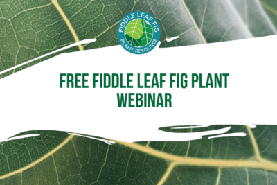 Join us for an exclusive webinar to learn everything about taking care of your fiddle leaf fig plant! In this 30 minute presentation, we'll review care tips, tricks, and answer your questions.