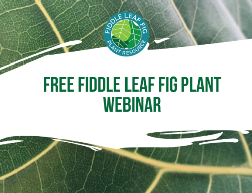 Register Now for Fiddle Leaf Fig Plant Care 101 (Webinar)