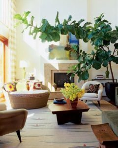 Pruning and Shaping Your Fiddle Leaf Fig Plant – The Fiddle Leaf Fig ...