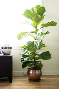 Given proper care, plenty of sunshine, and enough soil to expand its root ball, your fiddle leaf fig will grow quickly. Healthy plants can get lopsided or too big for their location in a hurry. Pruning will keep your plant healthy, balanced, and a good size for its location. Claire Akin