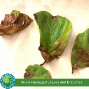 Damaged Fiddle Leaf Fig