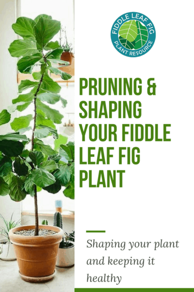 Pruning and Shaping Your Fiddle Leaf Fig Plant