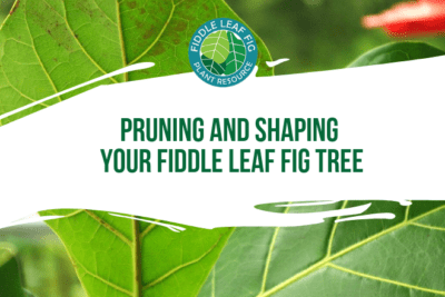 Given proper care, plenty of sunshine, and enough soil to expand its root ball, your fiddle leaf fig will grow quickly. Healthy plants can get lopsided or too big for their location in a hurry. Pruning will keep your plant healthy, balanced, and a good size for its location.