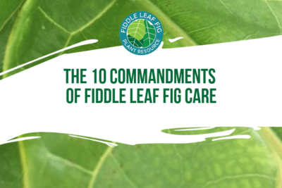 Fiddle leaf fig care can be complex and overwhelming. Good care makes your plant stronger and more resistant to disease. Luckily, there are ten critical components to successfully caring for your fiddle leaf fig plant.