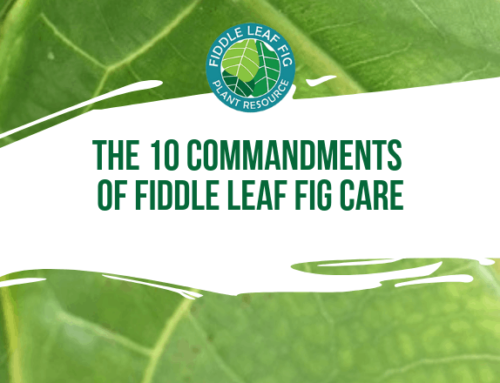 Fiddle Leaf Fig Care: The Ten Commandments