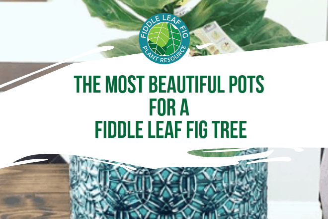 Finding the perfect pot for your fiddle leaf fig tree may take some searching. Here are my favorite fiddle leaf fig pots on Amazon.