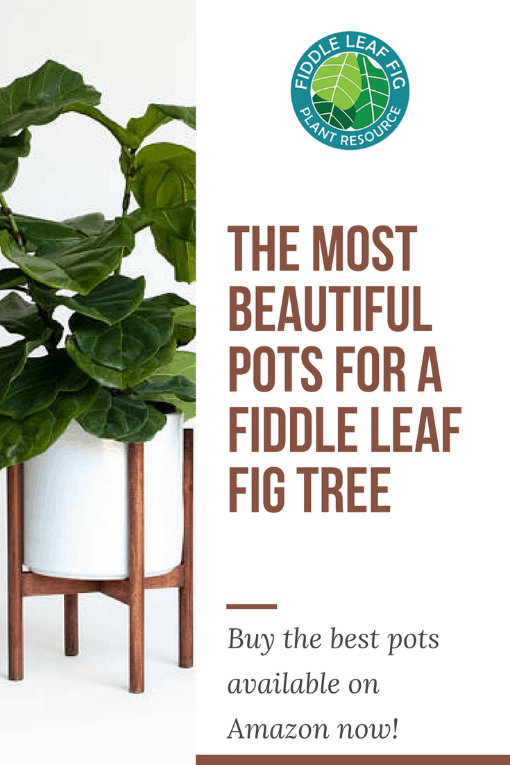 The Most Beautiful Pots for a Fiddle Leaf Fig Tree