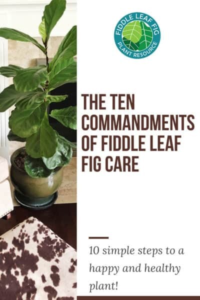 The Ten Commandments of Fiddle Leaf Fig Care 1