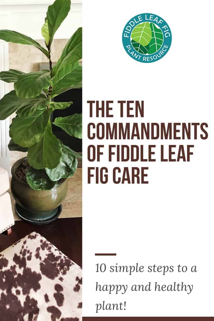 Fiddle Leaf Fig Care: The Ten Commandments for a Healthy Plant