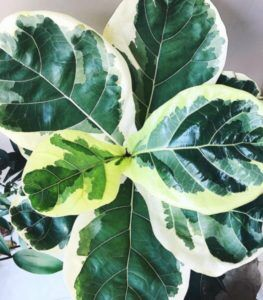 Fellow fiddle leaf fig lovers, I came across something online that I'm more excited about than Christmas morning. It's a variegated fiddle leaf fig plant and there are only a handful of pictures of it out there on the internet. Here's what it looks like! Claire Akin