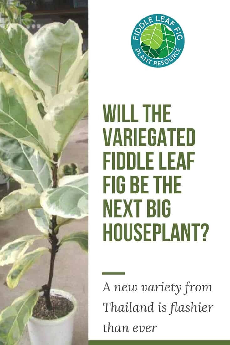 Will the Variegated Fiddle Leaf Fig Be the Next Big Houseplant