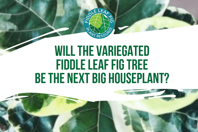 Fellow fiddle leaf fig lovers, I came across something online that I'm more excited about than Christmas morning. It's a variegated fiddle leaf fig plant and there are only a handful of pictures of it out there on the internet. Here's what it looks like!