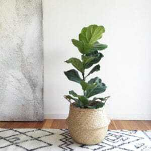 Finding the perfect pot for your fiddle leaf fig tree may take some searching. Plant nurseries often have a great selection and you can even find decorative pots at discount stores like Home Goods or Ross. But for those of us who like to buy online, here are my favorite pots on Amazon. Claire Akin