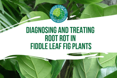 Root rot in fiddle leaf fig plants is caused by too much moisture in the soil due to overwatering. Fiddle leaf fig roots need oxygen to live, they should be kept slightly moist but never wet.