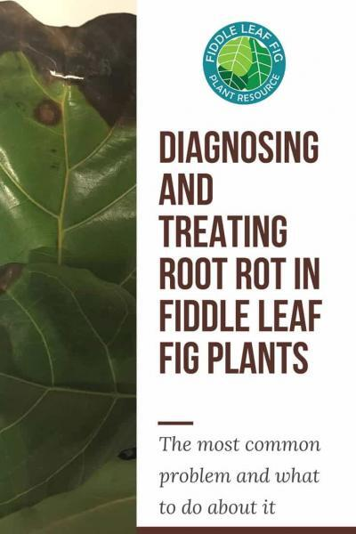 Diagnosing and Treating Root Rot in Fiddle Leaf Fig Plants