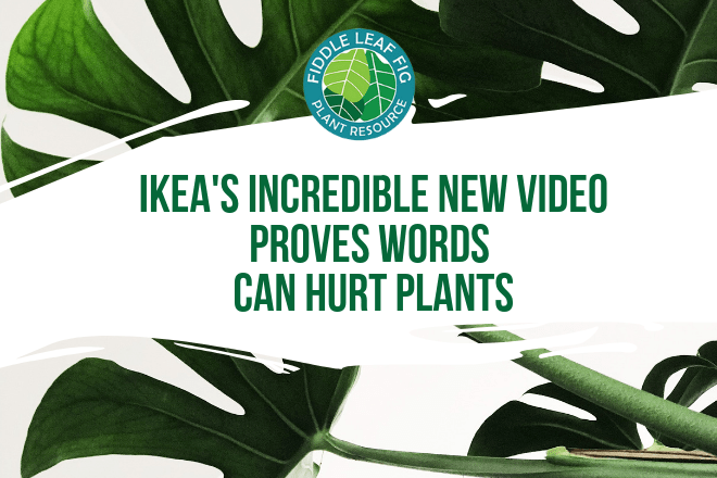 How you relate to your plant matters, so take some time today to tell your fiddle leaf fig that you care. I recommend giving your plant a name and talking to it on a regular basis. Watch and see how the health of your plant responds!