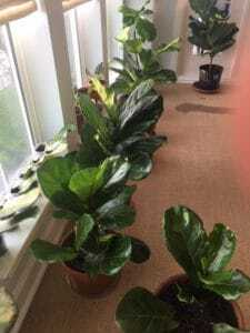 Fiddle leaf fig propagation is incredibly easy, if you have patience and follow some simple steps. Here are the secrets to propagation and the story of how one women grew 60 new plants from cuttings. Claire Akin