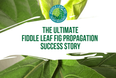 Fiddle leaf fig propagation is incredibly easy, if you have patience and follow some simple steps. Here are the secrets to propagation and the story of how one women grew 60 new plants from cuttings.