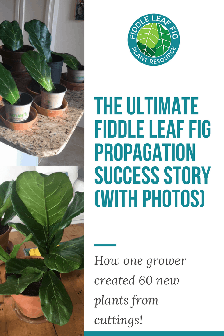 The Ultimate Fiddle Leaf Fig Propagation Success Story (With Photos)