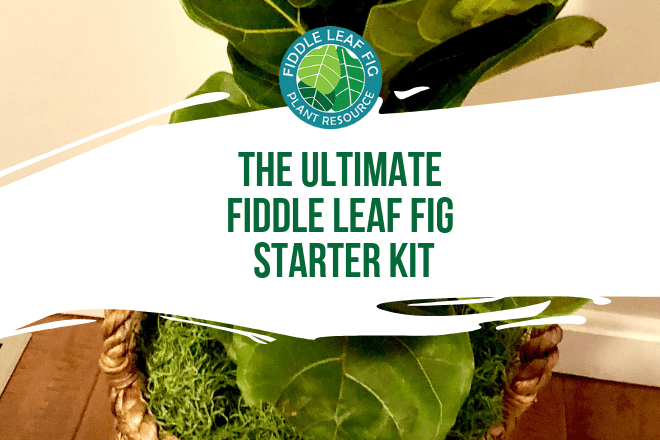 Are you ready to take the plunge and get started with a fiddle leaf fig plant in your home? We've put together a fiddle leaf fig starter kit with everything you need to get up and running. The kit includes Fiddle Leaf Fig Plant Food, pruning shears, soil, a watering can, and more!