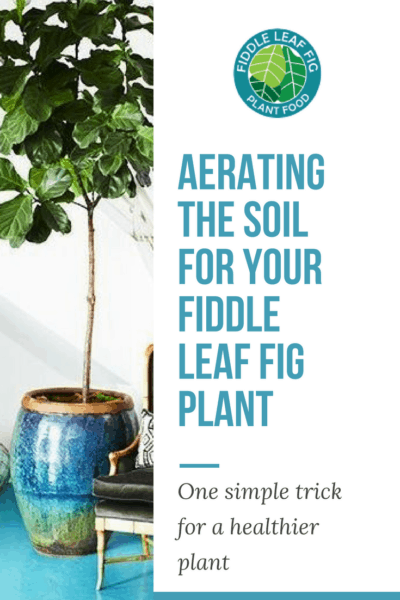 Aerating Your Soil for a Healthier Fiddle Leaf Fig Plant