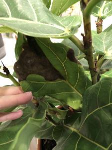 Fiddle Leaf Fig Brown Spots Bacterial Infection 1