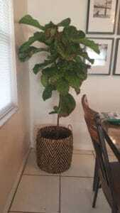 Fiddle Leaf Fig Brown Spots Bacterial Infection 3