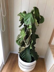 Brown Spots Fiddle Leaf Fig Dry Plant 1