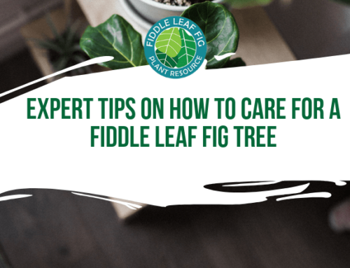 Expert Tips on How to Care for a Fiddle Leaf Fig (Guest Andy Burde)