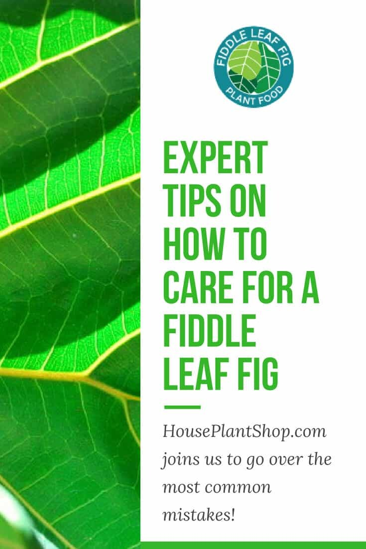 Expert Tips on How to Care for a Fiddle Leaf Fig.