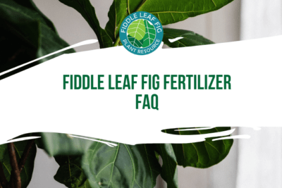 We get a lot of questions about fiddle leaf fig fertilizer. Readers want to know what the best formula is, how to use it, and where to buy. Find out now!